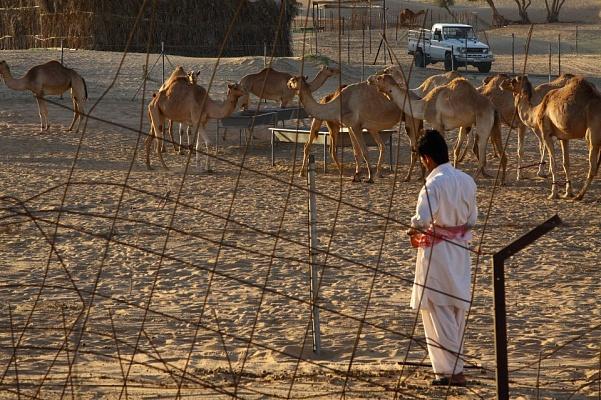 ОАЭ потратили $10 млн на поликлинику для верблюдов